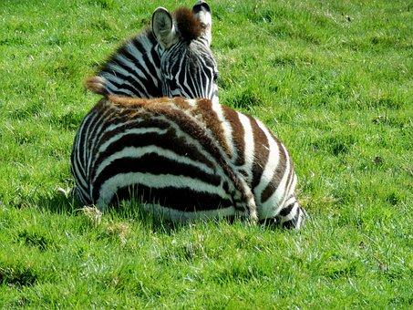 Zebra, Striped, Baby, Black, White, Africa, Wildlife