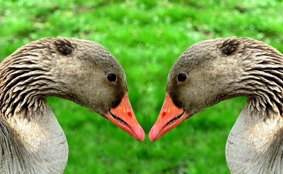 Greylag Goose, Poultry, Animal, Bird, Water Bird, Bill