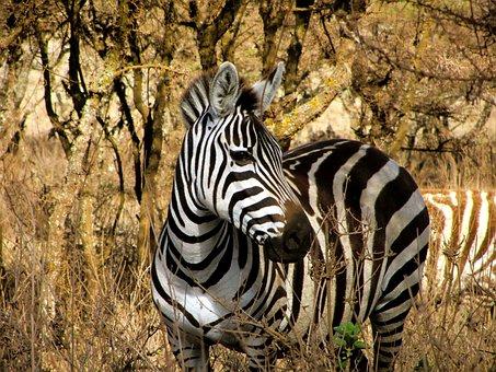 Zebra, Majestic, Wildlife, White, Stripes, Black