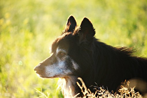 Dog, Border, Morning Light, Border Collie, Collie