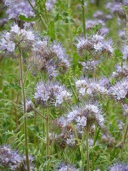 Bees, Bee Friend, Bueschelschoen, Tufted Flower
