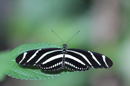 Heliconiinae Kharitonov, Butterfly