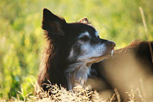 Dog, Herding Dog, Border, Morning Light, Morgenstimmung