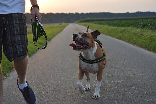 Dog, Pitbull, Amstaff, American Staffordshire Terrier