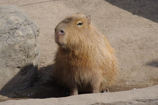 Capybara, Eye-rolling Smiley, Tweets From A Pupil