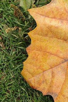 Leaf, Leaves, Tree, Nature, Maple, Seasons, Fall