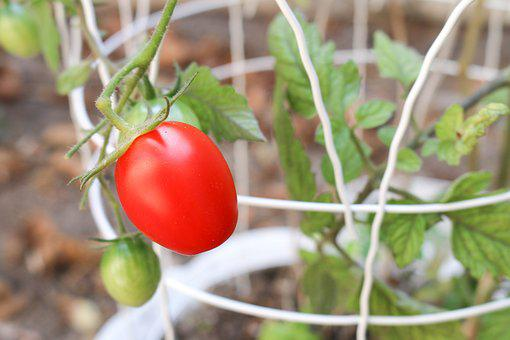 Tomato, Plant, Garden, Vegetable, Green, Agriculture