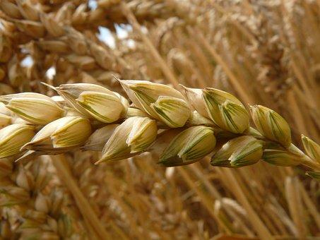 Spike, Wheat, Cereals, Grain, Field, Wheat Field