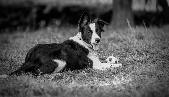 Dogs, Border, Animal, Pet, Ball, Play, Grass, Outdoors