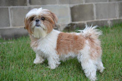 Shih Tzu, Animal, Dog, Grass, Hairy, Domestic Animals