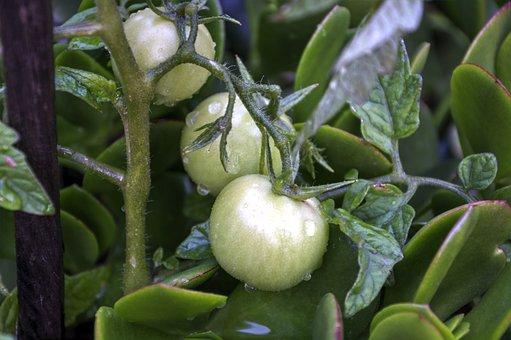 Growing Tomatoes, Green, Organic, Garden