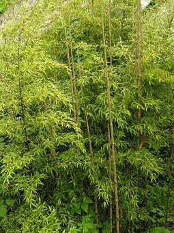 Evergreen, Bamboo, High Growing