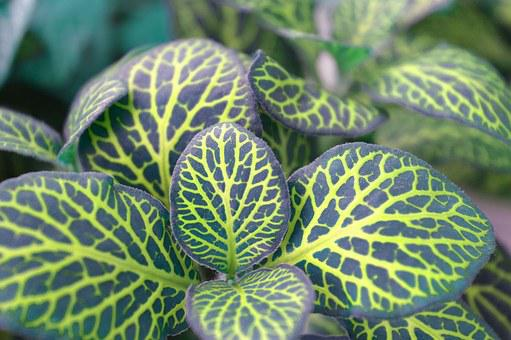 Fittonia, Variegated Leaves, Indoor Plant, Mottled