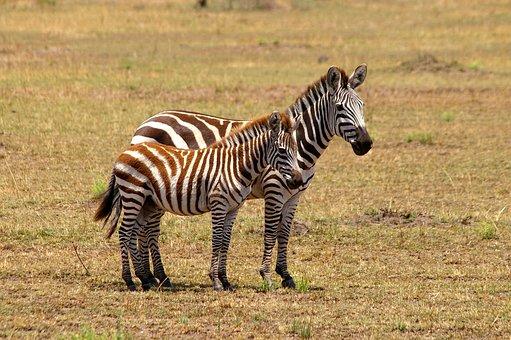 Zebra, Africa, Black And White, Safari, National Park