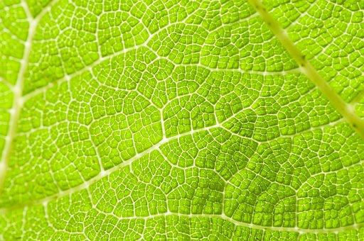 Leaf, Veins, Green, Leaves, Foliage, Plant, Nature