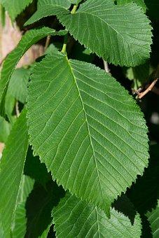 Leaf, Green, Elm, Hanging Elm, Green Leaf, Nature