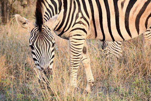 Zebra, Kruger Park South Africa, Patterns, Nature