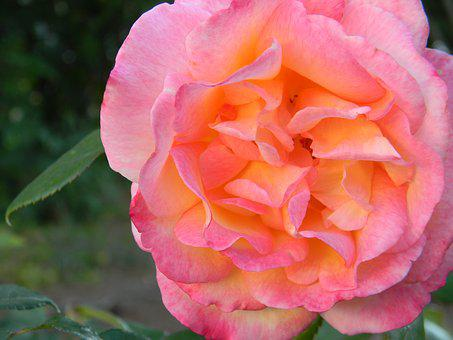 Rose, Flower, Bloom, Blossom, Love, Nature, Pastel