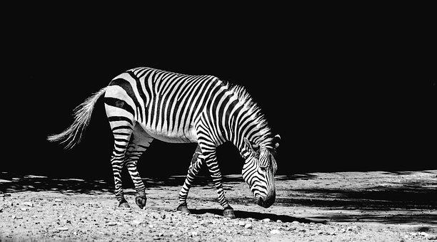 Zebra, Animal, Zoo, Zebra Crossing, Nature, Africa