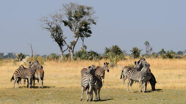 Botswana, Okavango Delta, Zebras, Group Of Animals