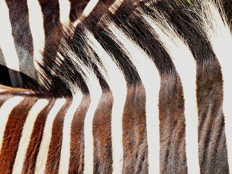 Zebra, Animal, Pair, Striped, Nature, Zebra Crossing