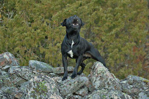 Patterdaleterrier, Terrier, Dog, Patterdale Terrier