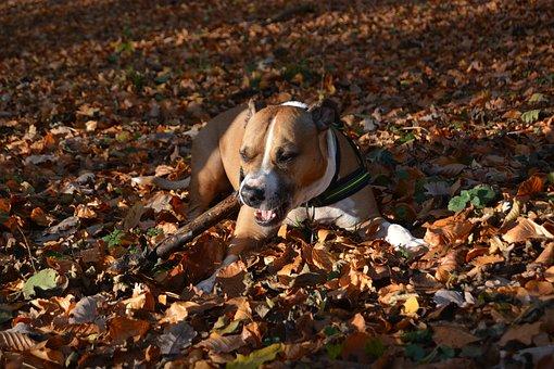 Dog, Autumn, Amstaff, Pitbull