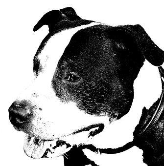 American Staffordshire Terrier, Dog, Pitbull, Portrait