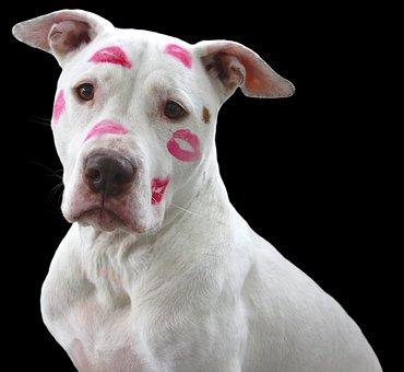 Pit Bull, Dog, Pitbull, Love, Kisses, White, Lipstick