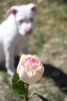 Rose, Dog, Stafforshire, Pitbull, Pit Bull, Puppy