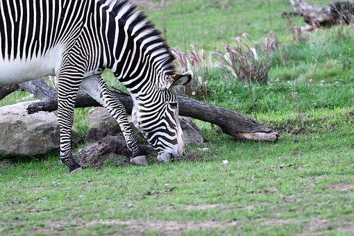 Zebra, Stripes, Striped, Black, White, Africa, Wildlife