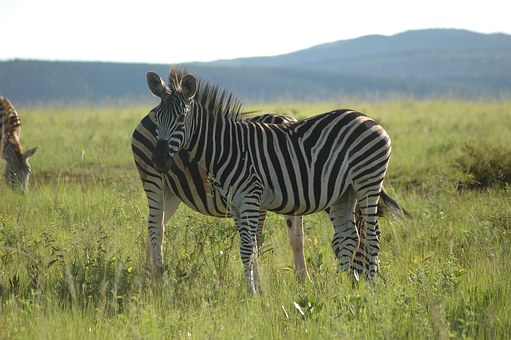Zebra, Swaziland, South Africa
