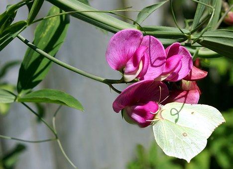 Sweet Pea, Flower, Butterfly, Garden, Nature, Blossom