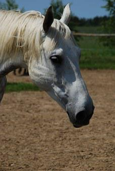 The Horse, Animal, Catwalk, Pet, The Mane