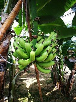Banana, Growing Period, Tropical, Fruit, Green