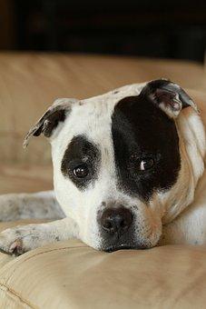 Staffy, Staffordshire Bull Terrier, Black, White, Dog
