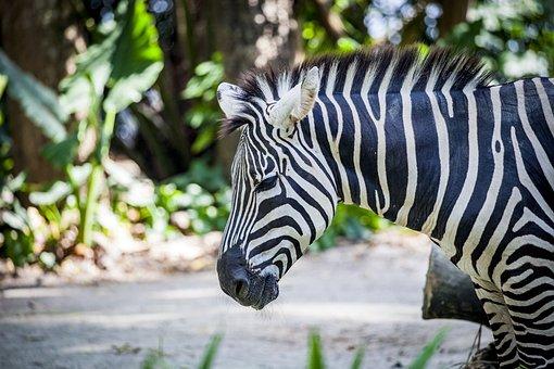 Zebra, Grevy, Black And White Striped, Africa