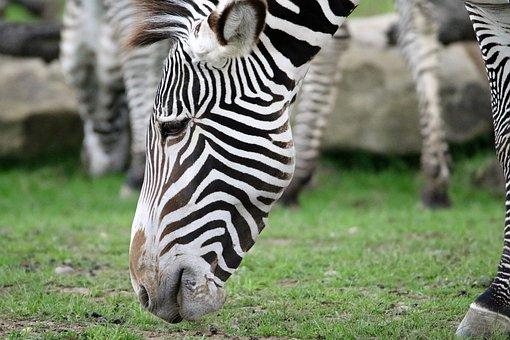 Zebra, Stripes, Striped, Black, White, Portrait, Wild