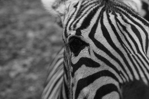 Zebra, Captivity, Black And White, Fence, Zoo