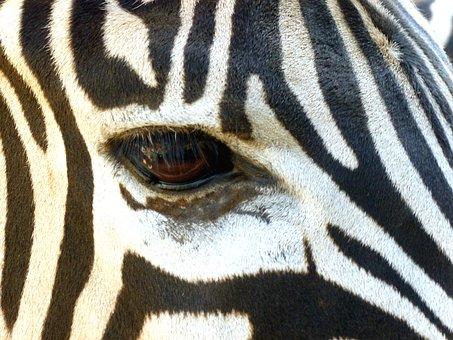 Zebra, Head, Eye, Black And White, Striped, Crosswalk