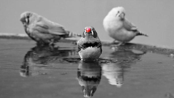 Zebra Finch, Birds, Red Beak, Water Bottle, Bill, Red