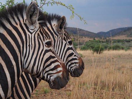 Zebra, National Park, Safari, South Africa