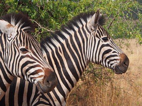 Zebra, Pilanesberg, Wilderness, Gauteng, Africa, Safari