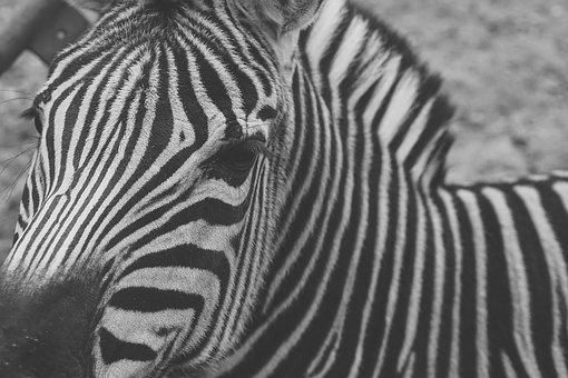 Zebra, Captivity, Black And White, Stripes