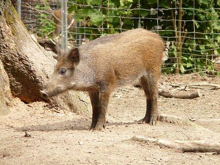 Pig, Boar, Sus Scrofa, Altweltliches Pig, Real Pig
