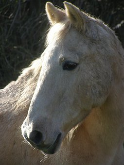 Horse, Palomino, Pony, Animal, Equestrian, Equine
