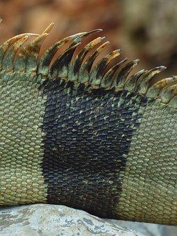 Back Comb, Green Iguana, Iguana, Iguana Iguana