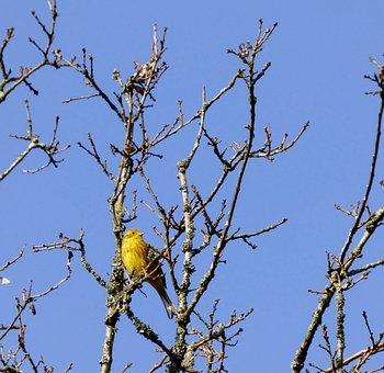 Yellowhammer, Bird, Treetop, Blue Sky