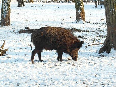 Wild Boar, Boar, Winter, Forest, Wildlife Park