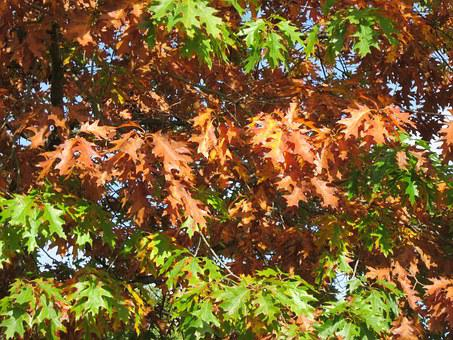 Quercus Rubra, Northern Red Oak, Champion Oak, Leaves